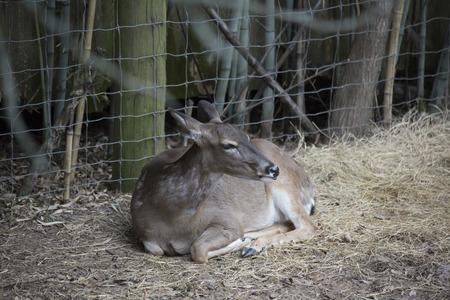 White tailed deer doe (Odocoileus virginianus) resting peacefully Stock Photo