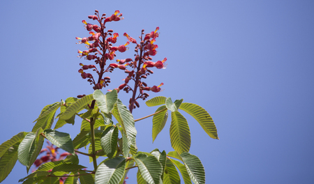 Close up of flowers and leaves on a red buckeye tree