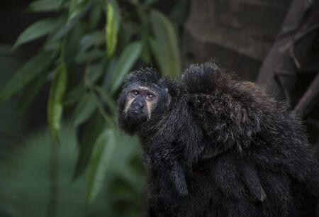 Adult saki monkey carrying a baby saki monkey on its back