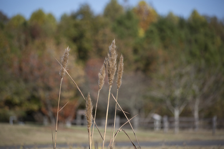 Close up of water reeds against a fall foliage background