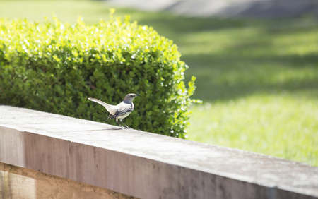 ruiseñor: Northern mockingbird (Mimus polyglottos) perched on a cement wall