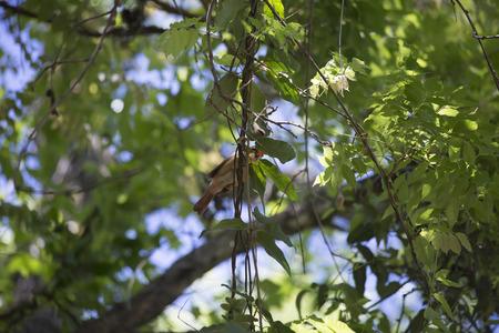 A single female cardinal hiding on a tree limb Reklamní fotografie