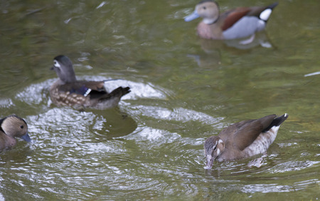 American wood duck and ringed teal ducks swimming Stock Photo