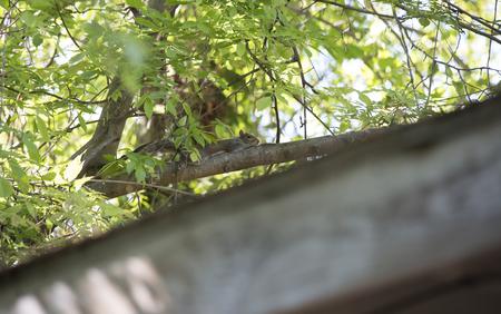 Eastern gray squirrel (Sciurus carolinensis) lying flat against a limb in a defensive posture Stock Photo