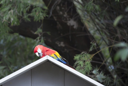 Single scarlet macaw perched on a blue birdhouse Reklamní fotografie