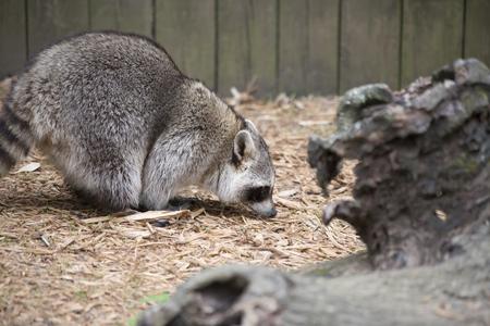 Raccoon, washing bear (Procyon lotor) preparing to jump