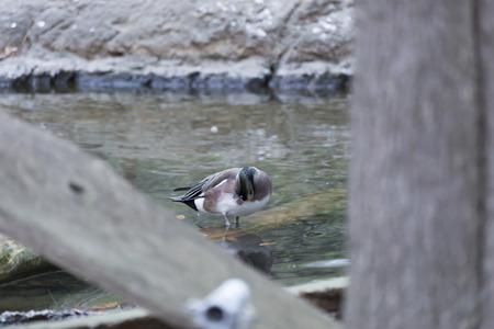 미국 widgeon 오리 (아나 스 아메리) 얕은 연못에서 손질 스톡 콘텐츠