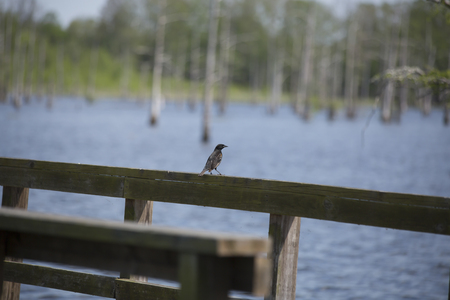 Immature male red-winged blackbird perched on a lakeside boardwalk