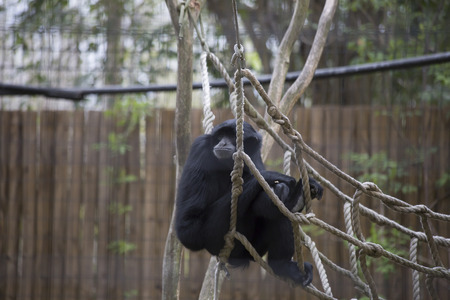 Siamang gibbon (Symphalangus syndactylus) lounging on a rope hammock Stock Photo