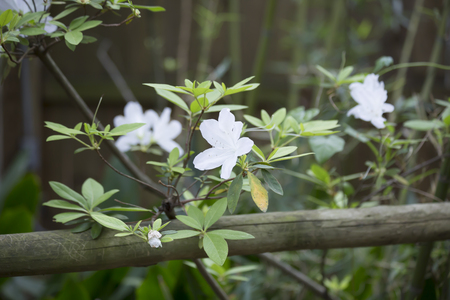 Close up of azalea flowers on a bush Stock Photo