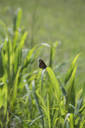 Monarch butterfly perched on a thick blade of grass