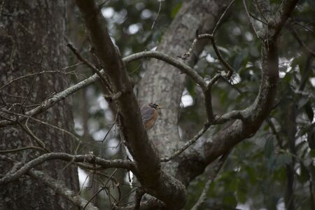 American robin (Turdus migratorius ) perched on a tree