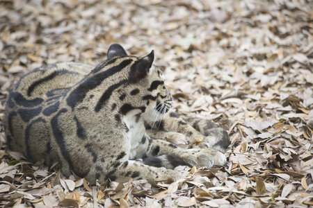 Lonely clouded leopard resting peacefully in autumn leaves