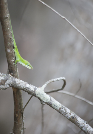 Alert green anole (Anolis carolinensis) on a small tree 版權商用圖片