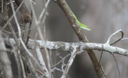 Alert green anole (Anolis carolinensis) on a small tree Stock Photo