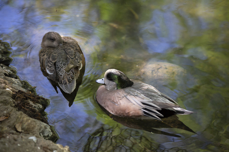 American wigeon (Anas americana) drake and hen, focus on the drake