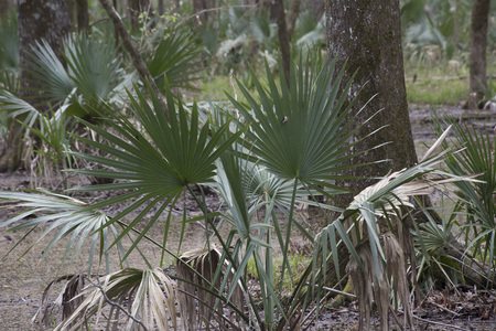 Dwarf palmetto plants growing in shallow swamp water