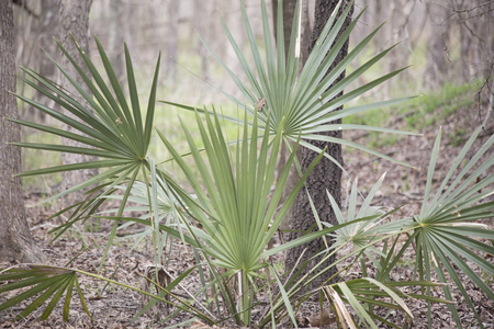 Dwarf palmetto plants growing deep in a forest Stock fotó