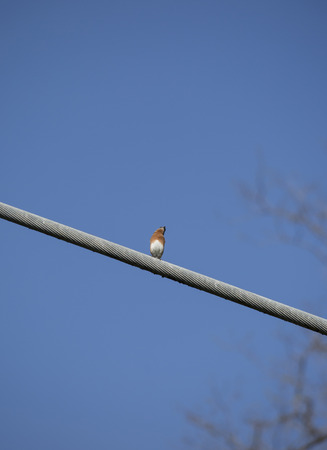 Eastern bluebird (Sialia sialis) perched on a large wire Stock Photo