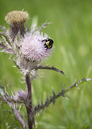 Bumblebee on a thistle weed plant in a meadow