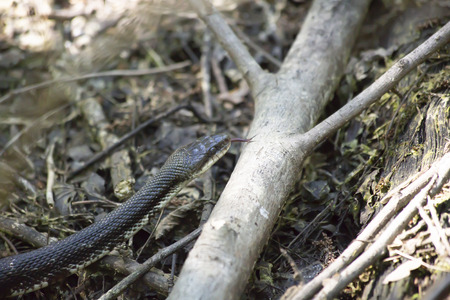 Western rat snake (Pantherophis obsoletus), also known as a chicken snake, slithering over a fallen tree branch Stock Photo