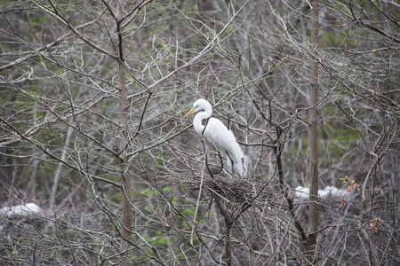 Great egret guarding its nest in a tree