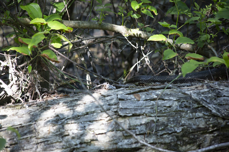 Western rat snake (Pantherophis obsoletus), also known as a chicken snake, crawling over a log