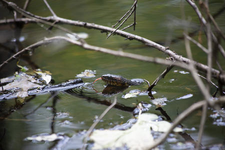 Head of a broad-banded water snake (Nerodia fasciata confluens) poking up out of the water