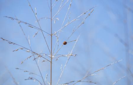 Tiny, red ladybug beetle on a brown weed