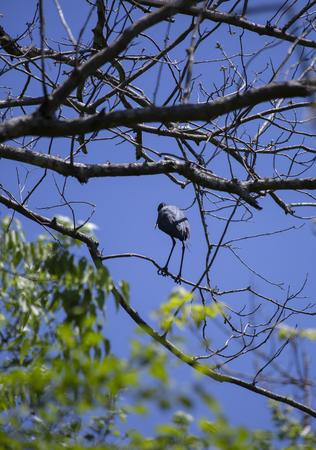 Little blue heron (Egretta caerulea) perched on a tree branch