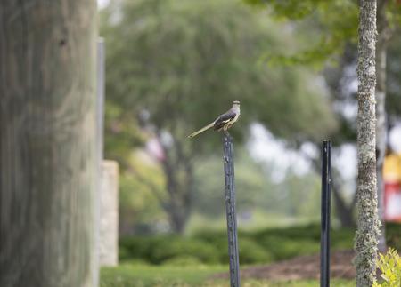 Juvenile northern mockingbird (Mimus polyglottos) perched on an empty sign post Stock Photo