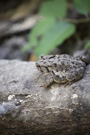 Oak toad (Anaxyrus quercicus) on a forest log