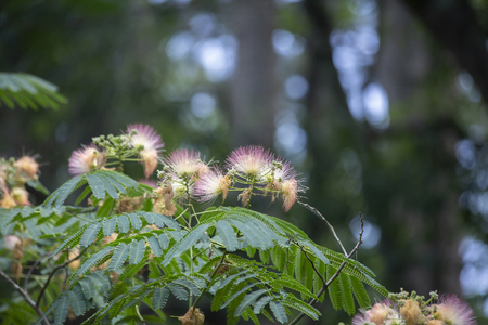Colorful mimosa or silk tree in full bloom 免版税图像