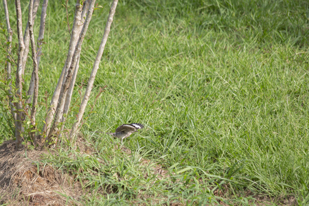 Northern mockingbird (Mimus polyglottos) bouncing around a bush Reklamní fotografie