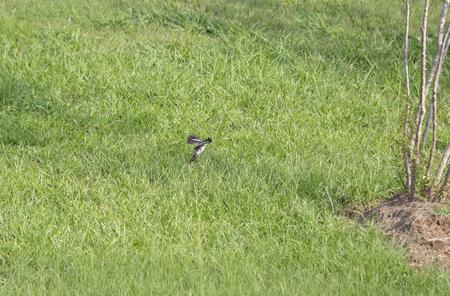 Northern mockingbird (Mimus polyglottos) landing at a bush Stock Photo