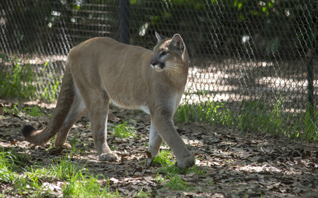 Mountain lion (Puma concolor) pacing inside a fence Stock Photo