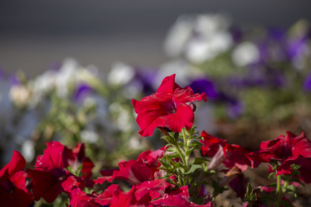 Close up of a bed of red petunias in bloom Standard-Bild