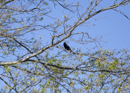 Red-winged backbird (Agelaius phoeniceus) perched on a tree limb