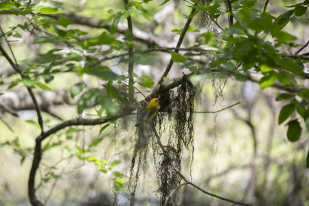 Prothonotary warbler (Protonotaria citrea) collecting moss for his nesting site