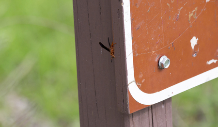 One red wasp crawling on a sign post Stock Photo