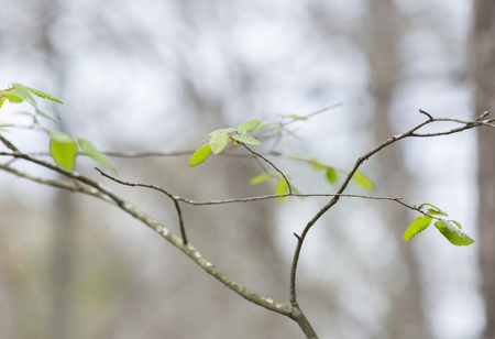 Close up of green leaves beginning to grow in the early spring 写真素材
