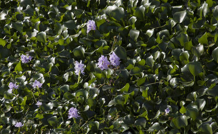Water hyacinth (Eichhornia crassipes) choking the water in a lake