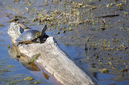 River cooter turtle (Pseudemys concinna) on a log in a swamp