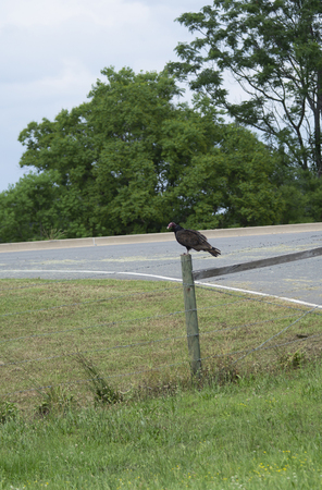 Turkey vulture standing on a wooden fence post 免版税图像