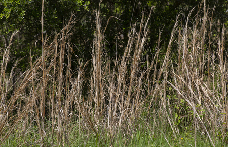 Tall, dried weeds growing in a meadow Stock Photo