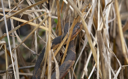 Close up of a broad-banded water snake sunning and hiding in dried water plants