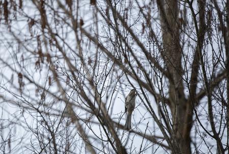 Wild northern mockingbird i(Mimus polyglottos) n bare trees during the winter season Stock Photo