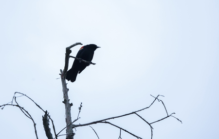 Red-winged blackbird (Agelaius phoeniceus) perched on a barren tree top in gloomy weather