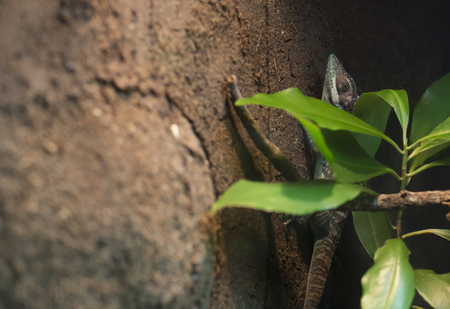 Close up of a lizard latched onto rock, hidden behind greenery Stock Photo