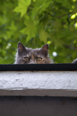 Cute grey kitten looking over the edge of a roof Stok Fotoğraf